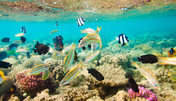 Tropical Coral Reef. Red sea Stock photo © cookelma