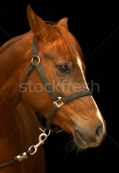 Portrait of a horse on a black background.  Stock photo © cookelma