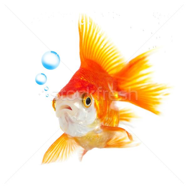 Akvaryum balığı kabarcıklar beyaz uzay özgürlük yüzme Stok fotoğraf © cookelma