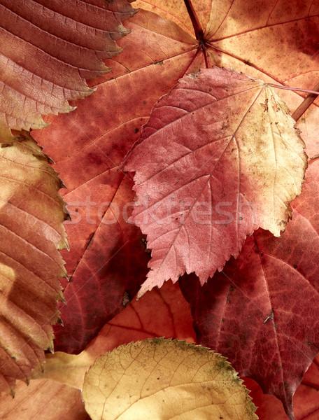 fallen autumn multi-coloured leaves Stock photo © cookelma
