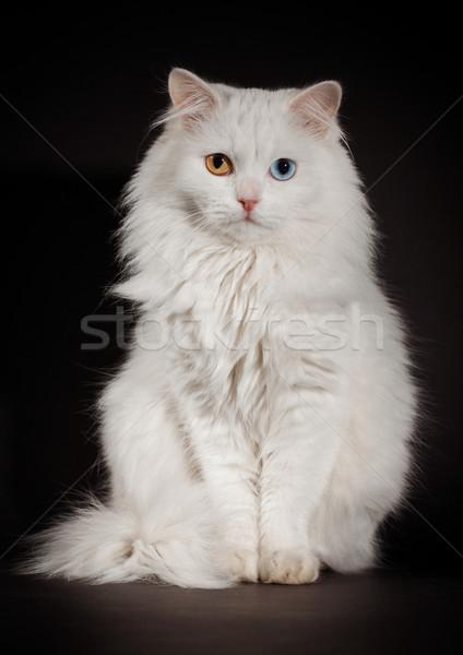 Augen weiß Katze Porträt blau Tier Stock foto © cookelma