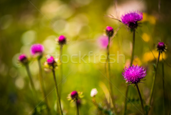 Abstract background of Alpine flowers. Milk Thistle in Alpine me Stock photo © cookelma