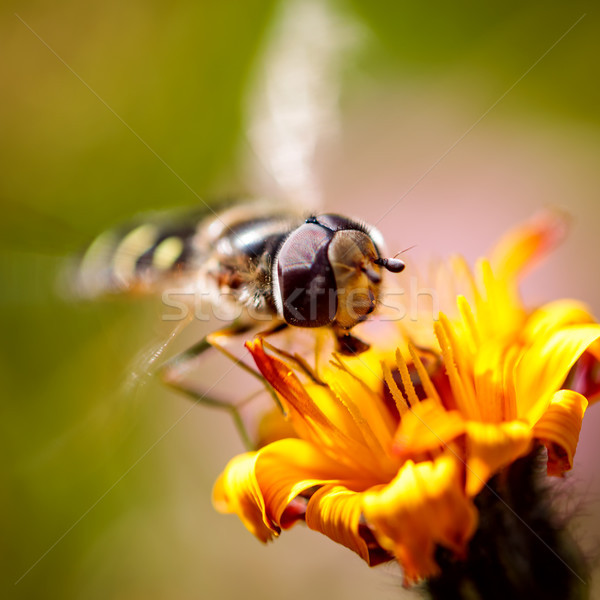 Stock photo: Wasp collects nectar from flower crepis alpina