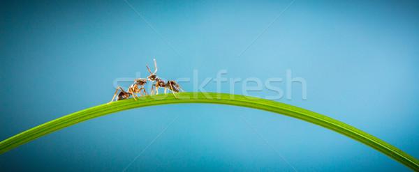 Dois formigas corrida em torno de verde lâmina Foto stock © cookelma