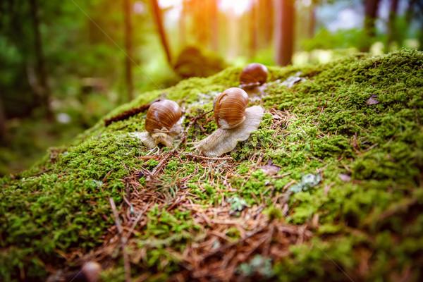 Spirál római csiga ehető fajok nagy Stock fotó © cookelma