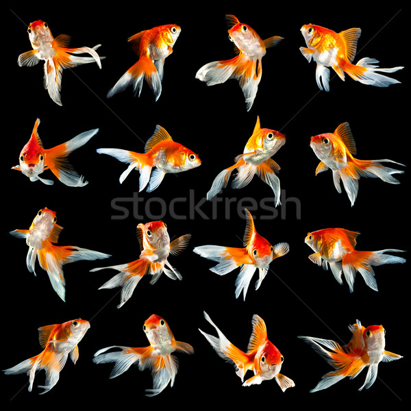 sixteen goldfishs Stock photo © cookelma