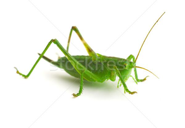 Konik polny zielone skok nogi owadów błąd Zdjęcia stock © cookelma
