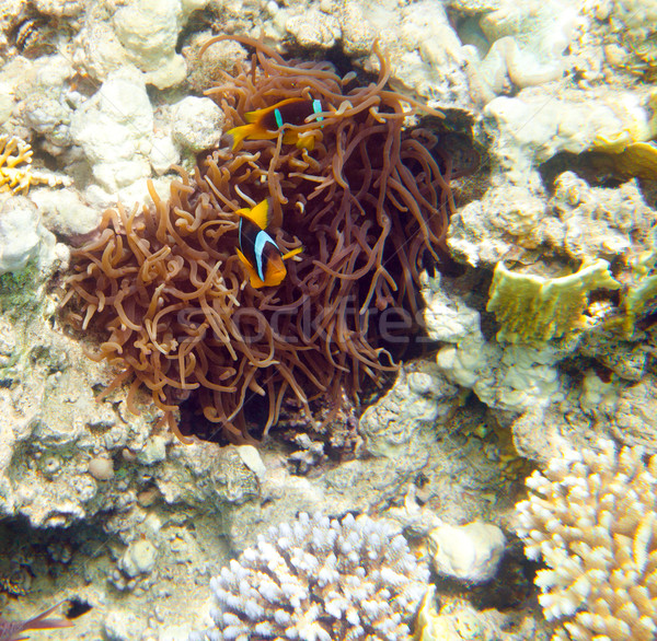 anemonefish - Red sea Stock photo © cookelma