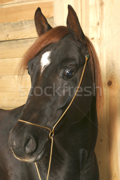 Horse Stock photo © cookelma