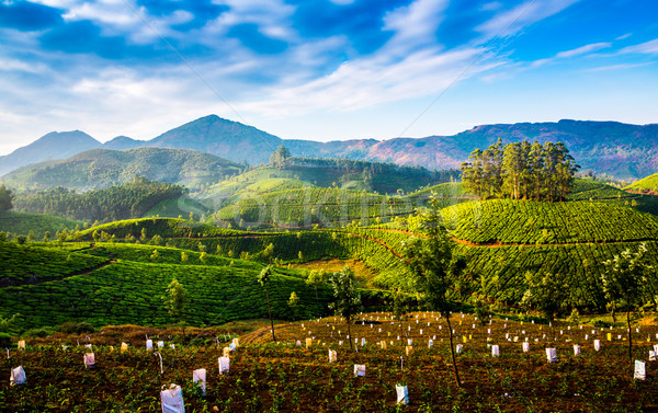 茶 インド 風景 春 木材 森林 ストックフォト © cookelma