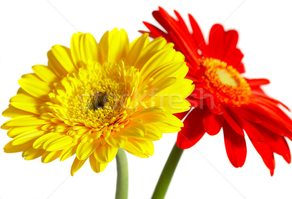 красный желтый цветок белый солнце красоту медицина Сток-фото © cookelma
