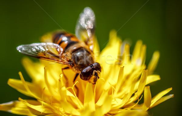 Vespa néctar flor primavera natureza fundo Foto stock © cookelma
