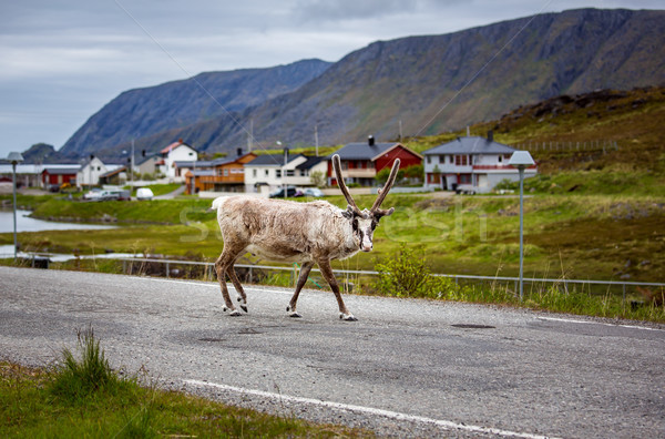 Rénszarvas észak Norvégia város tenger állat Stock fotó © cookelma