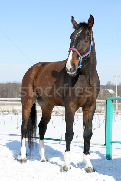 Horse Stock photo © cookelma