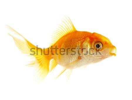 Gold small fish  Stock photo © cookelma