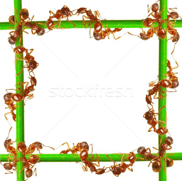 Formigas grama verde branco olho trabalhando tropical Foto stock © cookelma