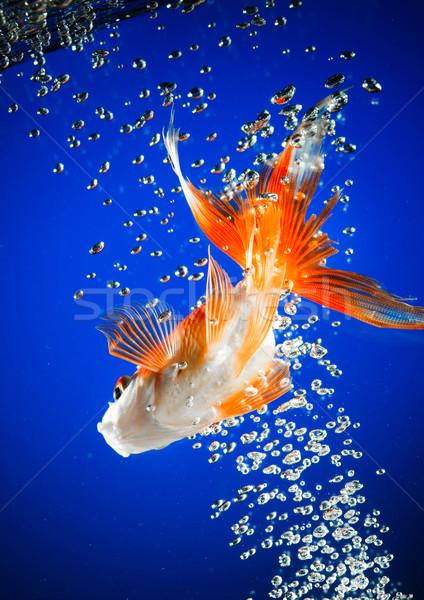 Peixe-dourado escuro azul água peixe natureza Foto stock © cookelma