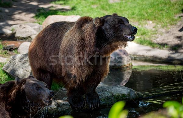 Brown bear (Ursus arctos) Stock photo © cookelma