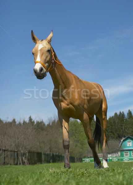 Cavalo céu prado erva daninha erva besta Foto stock © cookelma