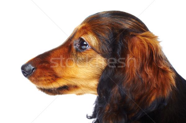 Cachorro dachshund blanco perro mascotas uno Foto stock © cookelma