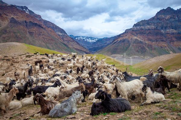 Hegy kecskék völgy nap természet szépség Stock fotó © cookelma