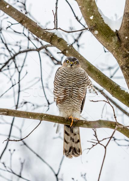 Halcón sesión ojo naturaleza aves Foto stock © cookelma