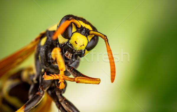 Wasp head Macro Shot Stock photo © cookelma