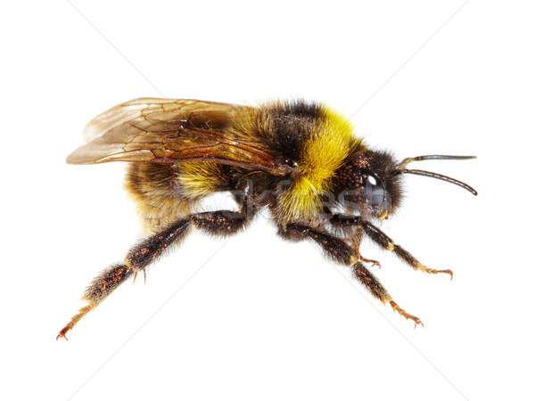マルハナバチ 白 蜂 動物 アンテナ 翼 ストックフォト © cookelma