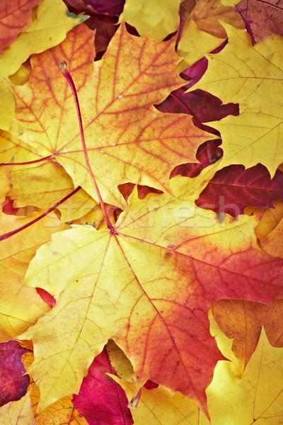 fallen maple multi-coloured leaves Stock photo © cookelma