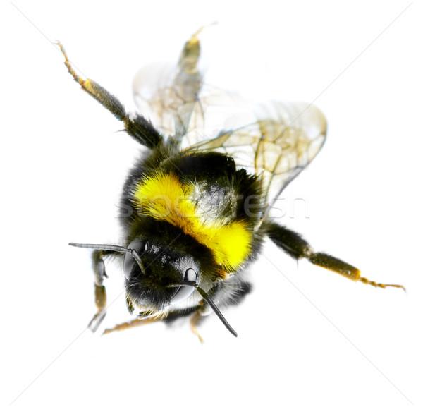 Flying bumblebee Stock photo © cookelma