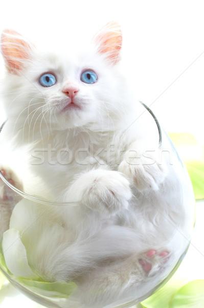 White kitten with blue eyes. Stock photo © cookelma