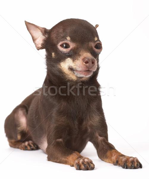 Russian toy-terrier Stock photo © cookelma