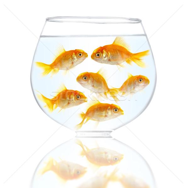 Stock fotó: Arany · kicsi · halfajok · akvárium · fehér · tömeg