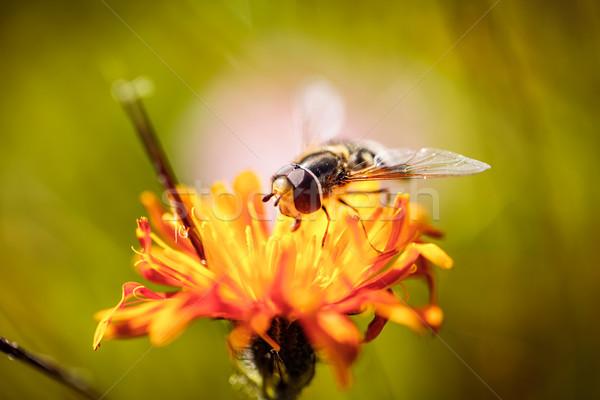 Arı nektar çiçek bahar doğa arka plan Stok fotoğraf © cookelma