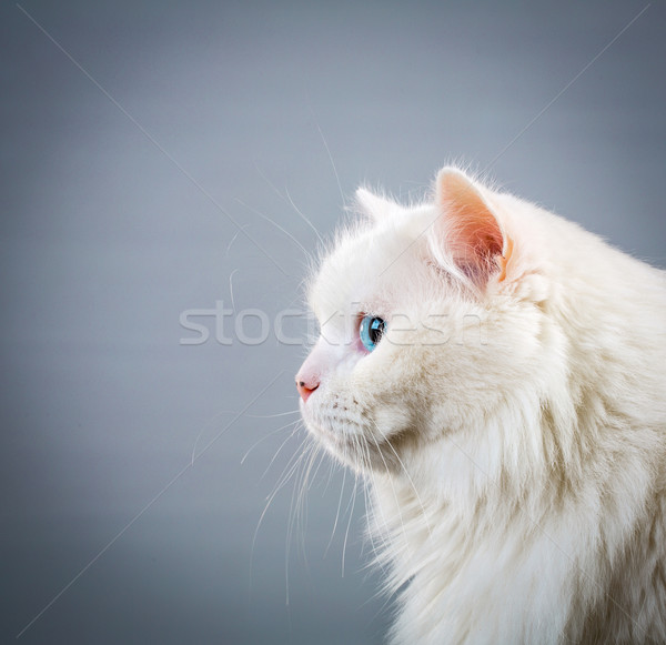 Bianco cat ritratto grigio sfondo bellezza Foto d'archivio © cookelma