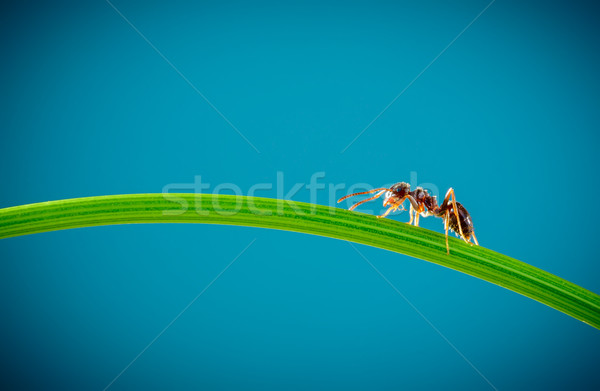 Ant and green grass Stock photo © cookelma