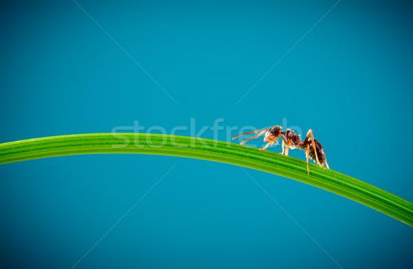 Formiga grama verde corrida em torno de verde lâmina Foto stock © cookelma