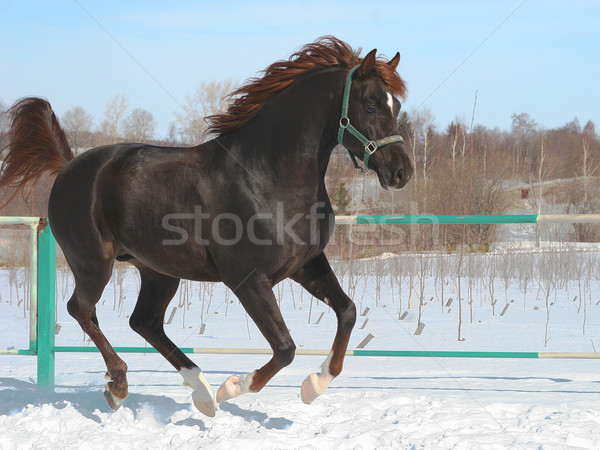 Skipping horse. Stock photo © cookelma