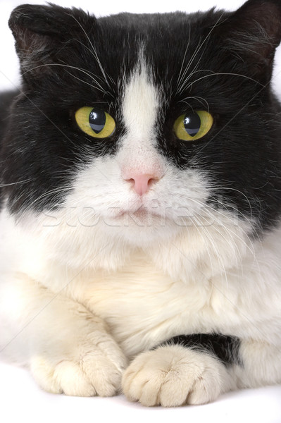 Portrait of a cat with yellow eyes  Stock photo © cookelma