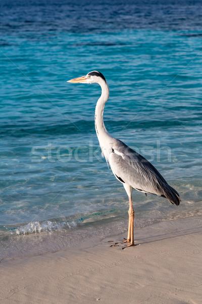Grey Heron Stock photo © cookelma