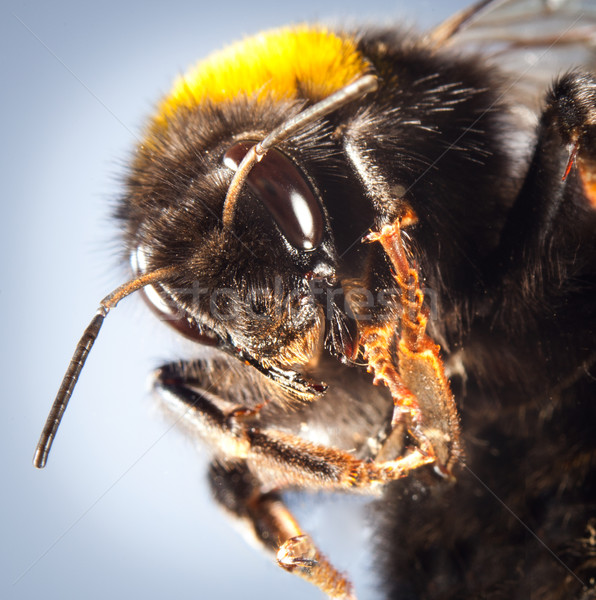 bumblebee close up Stock photo © cookelma