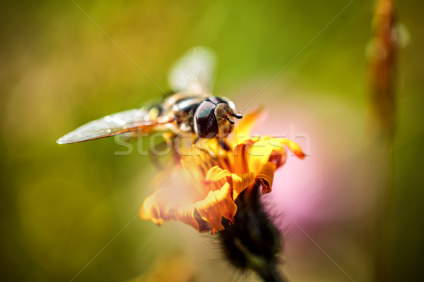 Wasp collects nectar from flower crepis alpina Stock photo © cookelma
