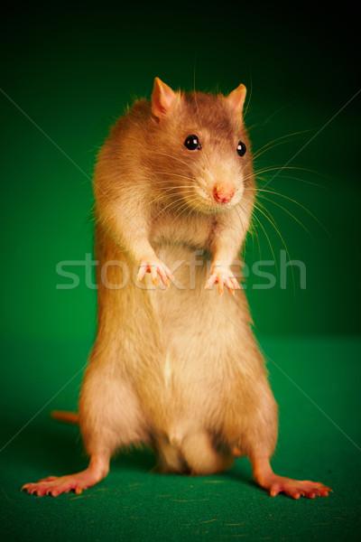 Sıçan yeşil hayvan Evcil sevimli kahverengi Stok fotoğraf © cookelma