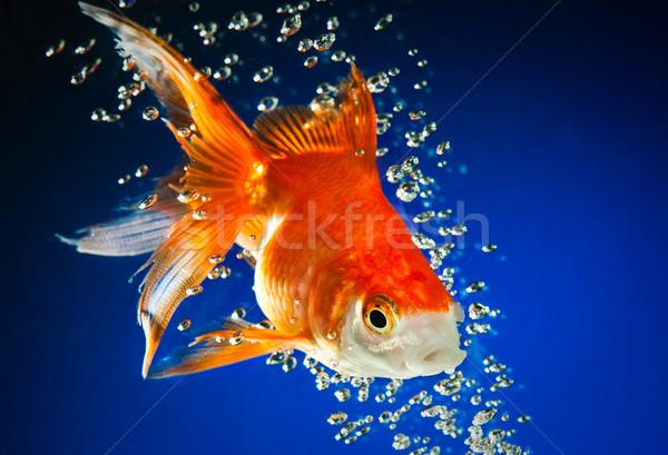 Goldfish buio blu acqua pesce natura Foto d'archivio © cookelma