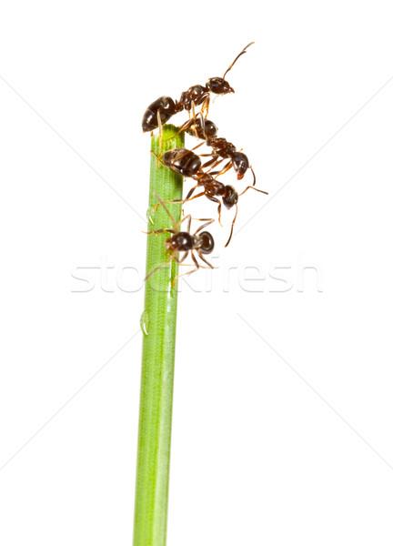 Formiche erba verde bianco natura gruppo lavoratore Foto d'archivio © cookelma