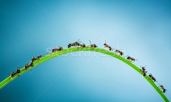 Csapat hangyák fut körül zöld penge Stock fotó © cookelma