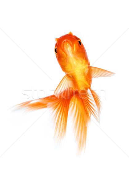 Akvaryum balığı altın balık yalıtılmış beyaz doğa Stok fotoğraf © cookelma