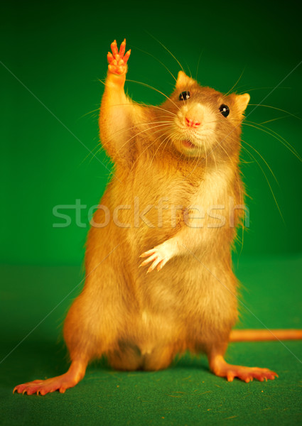 Patkány zöld állat díszállatok aranyos barna Stock fotó © cookelma