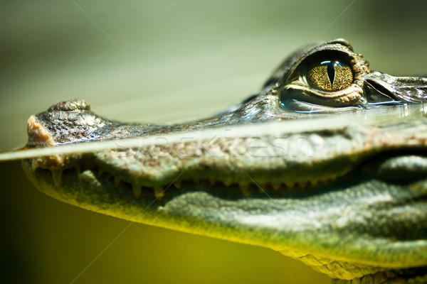 Caiman crocodilus Stock photo © cookelma