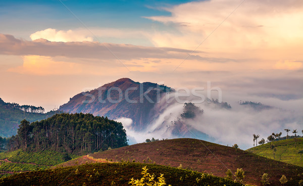 Thé Inde paysage printemps bois forêt Photo stock © cookelma